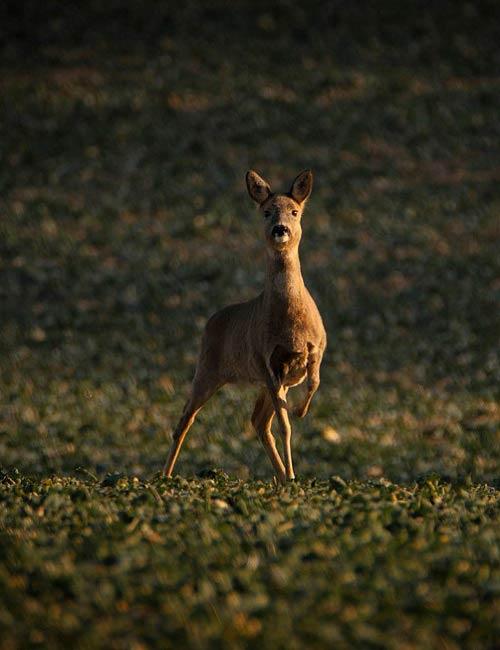 Aufgeschrecktes Reh bei einer Fotosafari mit Green Guiding